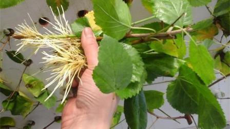 生根剂不用买! 花盆里浇点这个肥水, 生根快又多, 比生根粉还好用