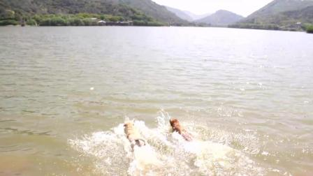 狗狗运动会-游泳