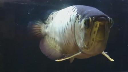 家居水景丨一条养了16年的老龙鱼, 看起来沧桑却活力十足!