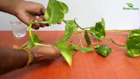 绿萝的枝条剪下插水里就能活, 不论水培还是土培都能长得好
