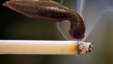 把水蛭放入烟灰水中会发生什么? 最后水蛭吐血身亡!