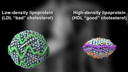 【3D演示】低密度脂蛋白胆固醇(LDL)与高密度脂蛋白胆固醇(HDL)