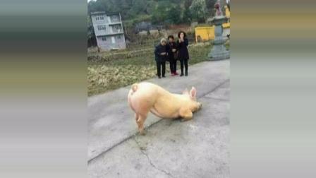 【动物念佛拜佛灵性奇闻】实拍一头猪跑到温州一寺院门口跪拜-后续.庙前长跪猪当晚被宰杀