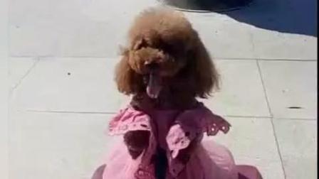 【动物念佛拜佛灵性奇闻】一只泰迪下跪拜佛的视频走红网络, 它真跪下磕头, 态度虔诚!