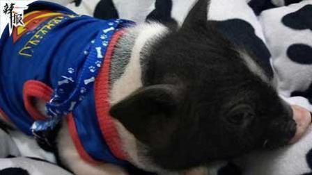 高校女生寝室养猪被通报