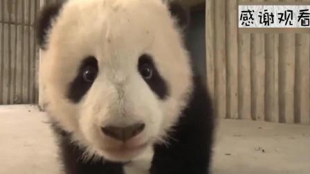 大熊猫 这颗竹子一看就好吃, 蔓越莓太可爱了, 么么儿表示不服