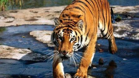 野生老虎厮杀的真实场面, 真扔一条藏獒上去估计十秒钟就成碎肉了