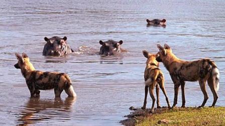 非洲野狗捕猎河马 鳄鱼狮子见了也要退避三舍!