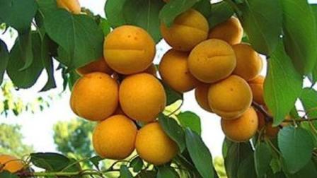 珍珠油杏仁甜与扁杏等同, 经济价值为杏品之最, 营养价值丰富, 受广大消费者喜爱!