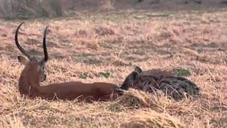 小鹿眼睁睁看着鬣狗掏肛自己却无能为力, 直到最后倒下一刻