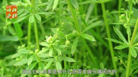 农村有一种了不起的野草, 农村人常用于感冒发烧消炎, 你见过吗?