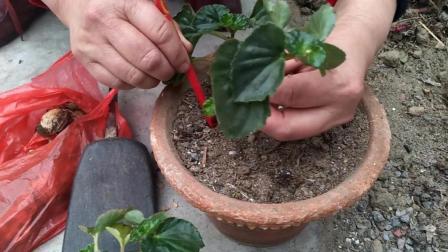 养花有诀窍, 农村大姐扦插四季海棠, 砖块、核桃皮、筷子齐上阵!
