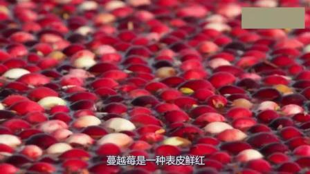 蔓越莓长在水里的? 蔓越莓收割方式让你意想不到, 简 直太美了