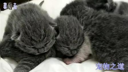 第一次跟猫妈妈分开, 猫宝宝们乱成了一团, 猫妈妈也一脸紧张: 啥时把宝宝还给我