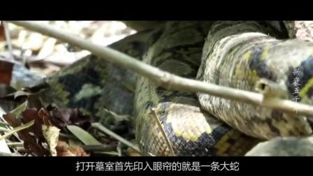 村民修路挖出古墓, 开墓惊现千年大蛇, 吓坏一众村民