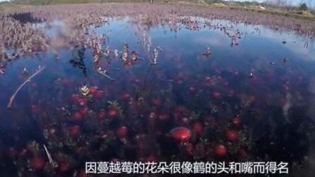 你知道蔓越莓长在哪里吗? 第一次看到收割的场面, 真是太美了