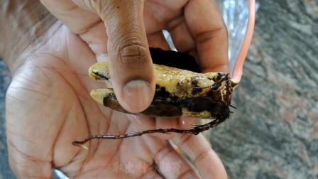 生活小妙招: 吃剩的芒果核不要扔, 教你十天变美丽盆栽!