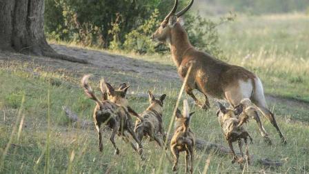 落单的羚羊被野狗围住, 随后直接被撕成碎片, 镜头拍下可怕瞬间
