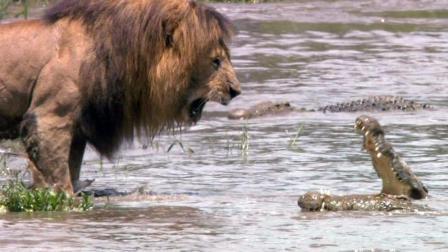 鳄鱼想抢狮群的食物惹怒雄狮, 雄狮只做了一个动作, 鳄鱼直接溜走