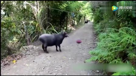 动物搞笑视频-看过之后憋了十分钟, 实在忍不住笑了
