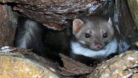 记录伊比利亚森林里 石貂捕食老鼠 当开胃小菜