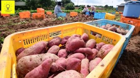 红薯种植生产妙招, 叶子养猪, 红薯可制作食物, 为农民创收