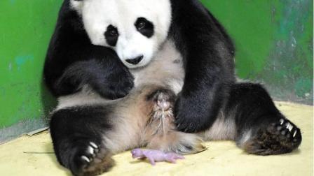 大熊猫妈妈第一次生孩子, 熊猫宝宝一动, 她的反应很奇怪