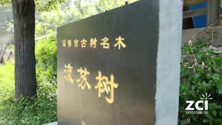 淄川峨庄千年流苏树