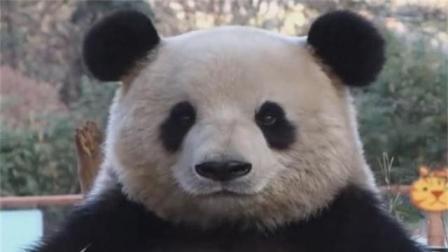 大熊猫犯规了, 吐了吐舌头, 貌似还偷笑了一下!