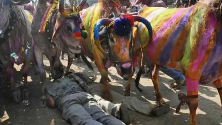 印度奇葩仪式, 让1000斤的母牛从人身上踩过去, 声称能为明年带来好运