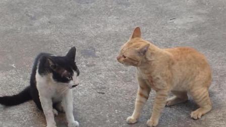 打架的这两只猫太逗了, 打三秒休息三秒, 猫毛满天飞