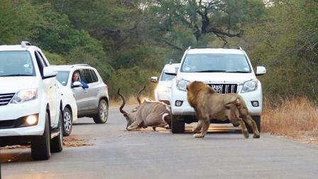 羚羊躺在路中间休息! 好心人打喇叭警告! 结果还是晚了!