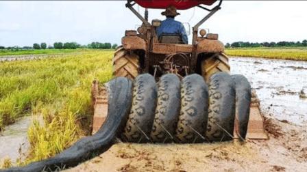 农民开犁地机犁地, 惊扰出大蟒蛇, 小孩见后却乐了