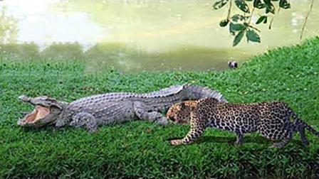 花豹想要偷袭鳄鱼, 鳄鱼发怒一口咬住豹子头, 花豹这下惨了