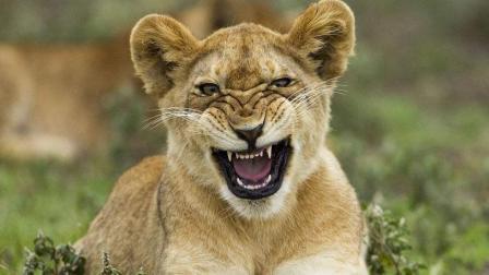 危难之时方显英雄本色, 小狮子逃过大象和鳄鱼的死亡杀戮