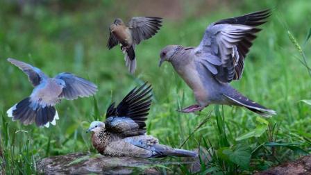 斑鸠和鸽子的区别母画眉鸟叫声绿斑鸠虾扯淡TV搞笑视频农村男子陶志