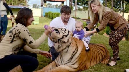见过在家养狗的, 你见过在家养老虎吗? 个头贼大的那种!