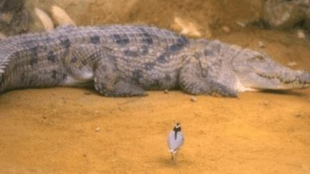 这种鸟贼胆大, 敢在鳄鱼嘴里找食物, 号称世界上最勇敢的鸟!