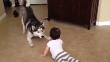 哈士奇趴在地上和小宝宝吵架, 下一秒它的表情亮了!