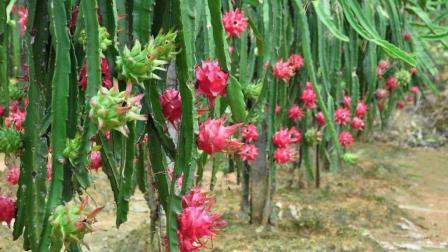 种植火龙果的注意了, 千万不要买到这种苗, 不然亏大了!