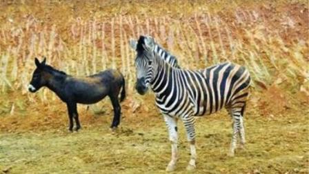 公驴、母斑马恋爱了, 生出来的不知道是个什么生物?