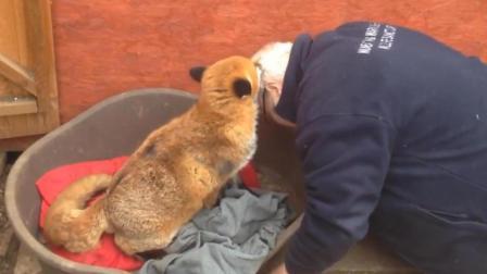男子救下一只狐狸, 痊愈后把男子视为亲人各种撒娇, 比狗还通人性