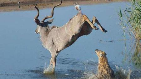 羚羊在草地上休息, 鬣狗却趁虚而入, 镜头拍下羚羊绝望的表情!