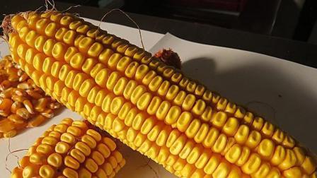 4月30日, 山东深加工企业玉米收购价格全面下滑, 华北地区出货量猛增, 这是暴跌的前兆吗?