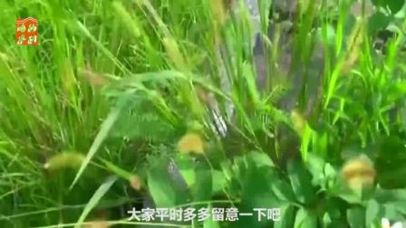 农村随处可见的野草, 是80后的童年记忆, 还是治疗感冒的奇药