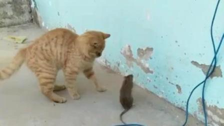 猫捉老鼠, 老鼠这个反应把猫整懵了, 太逗了