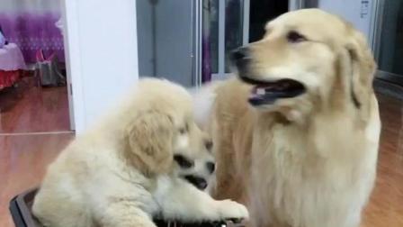 听到狗肉汤的做法, 金毛爸爸为了保护小狗, 急忙把它们拉走