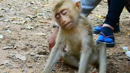 男子救下奄奄一息的猴子, 猴子拉他的手不放, 生怕他离开