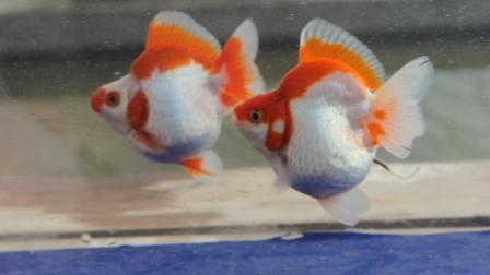 红白鎏金金鱼 高背峰精品10厘米