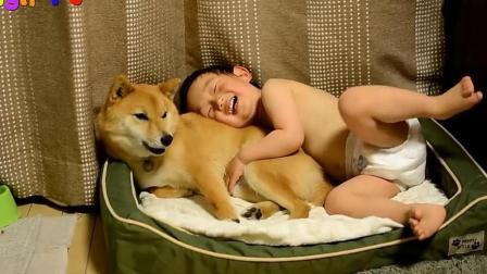 小宝宝跟柴犬抢狗窝睡, 狗狗的反应真暖心